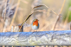 framed robin (Paul Wrights Reserved) Tags: robin bird birding birds birdphotography birdwatching framed nature animal