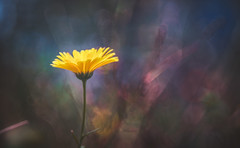 Art on nature's canvas (Dhina A) Tags: sony a7rii ilce7rm2 a7r2 wollensak 3inch 75mm f19 oscilloraptar 109x wollensak75mmf19 bokeh 19 oscilloscope flower autumn nature art canvas drawing effect painting
