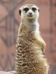 """Oh.. Hello there!"" (juldsmet) Tags: meerkat suricate stokstaartje bruin afrika africa village dorp pairidaiza pai pairi dai daiza belgiu belgium belgi belgië dierentuin zoo park"