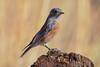 Western Bluebird (Sialia mexicana): Arizona (mharoldsewell) Tags: 2017 arizona d7200 nikon november santacruzcounty sialiamexicana westernbluebird bird birds mharoldsewell mikesewell photos