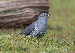 Cuckoo Surrey 07-05-2017-9842