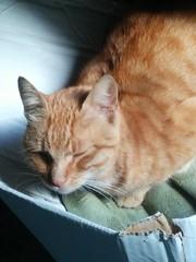Samedi : le réveil est difficile même pour un Chat Domestic Cat Indoors  Morning Cat (nizarus) Tags: samedi chat domesticcat indoors morning cat