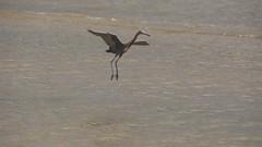 DSC04912 (Matthew283) Tags: bolvar wildlife 11182017 reddish egret
