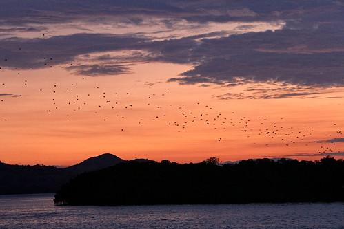 Bats in the sunset, Kalong Island - Komodo National Park