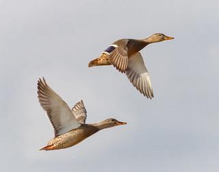 Mallard Hen take-off