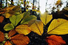 Herbstlaub (bauingenieuse) Tags: herbst autumn november wald wood baum tree laub leaves bunt color green grün rot red yellow gelb sonne sun spaziergang bauingenieuse canon 60d natur outdoor 12mm tokina 2017 ngc