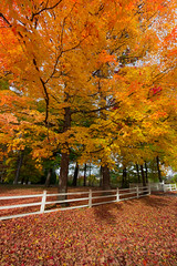 Fenced in (snowyturner) Tags: trees autumn fall ontario fence light foliage golden maples niagara