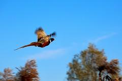 Pheasant - Noale Italy (mattiafabris) Tags: pheasant birds fall nature wwf italy fly colours autunno animals