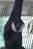 White-cheeked Gibbon (maritimeorca) Tags: animal gibbon mammal nomascusleucogenys piercecounty pointdefiancepark pointdefiancezooandaquarium tacoma washington whitecheekedgibbon zoo