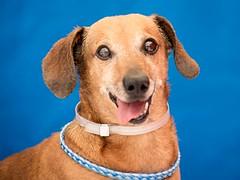 A4490766_Joshua-6 (lauripiper) Tags: rescuedog shelterdog adoptdontshop baldwinparkshelter dog nikon d810 2016 baldwinpark losangelescounty lacounty 2017