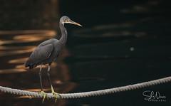Reef Heron (Shans Photografia) Tags: bird birdphotography birdsinqatar reef heron reefheron qatarbirds