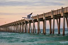 Gulf Gull - Pensacola Pier, Florida (Moon-Tooth Photography) Tags: gulf gulfofmexico florida pensacola pensacolapier nature landscape wildlife sunrise nikon travel outdoors