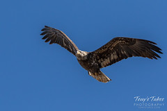 November 18, 2017 - A gorgeous young Bald Eagle over Thornton. (Tony's Takes)