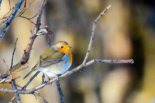 Glóbrystingur - Robin - Erithacus rubecula