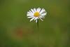 My Daisy in november (Xtraphoto) Tags: flower daisy gänseblümchen bokeh grün wiese green blüte