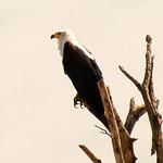 African Fish Eagle thumbnail