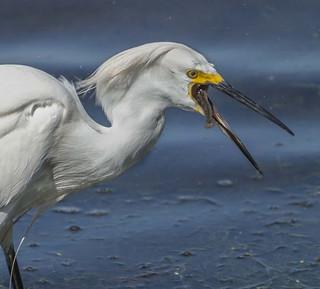 Egret - 31