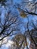 Spot the Jay (Simon Caunt) Tags: garrulus garrulusglandarius upshot up trees sandallbeatwood doncaster bird jay