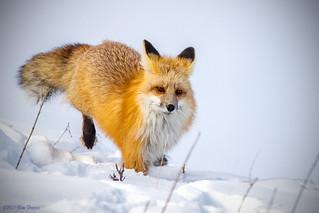 Red Fox (Vulpes vulpes) at Yellowstone Natioinal Park