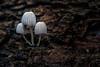 Three's company - 101417-161854 (Glenn Anderson.) Tags: fungus mushroom macro closeup d750 tamronlens outdoor spores forest nature wood woodrot bokeh waynesboughpark natural cap pleats