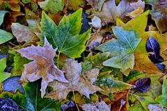 Ice leaves (Peideluo) Tags: ice leaves nature street colors hoja aoi elitegalleryaoi bestcapturesaoi