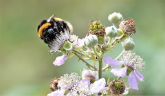 Bee on a blackberry bush. (pstone646) Tags: bee insect nature wildlife fauna flora flower bokeh animal pollination pollen plant summer sunshine