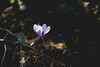 cyclamen.. (ckollias) Tags: beautyinnature blooming closeup crocus cyclamen cyclamenpersicum day flower flowerhead fragility freshness greece growth leaf nature nopeople outdoors parnitha parnithamountain periwinkle petal plant