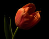 Independence 1128 (Tjerger) Tags: nature beautiful beauty black blackbackground bloom booming closeup fall flora floral flower green macro orange plant portrait single tulip wisconsin independence natural