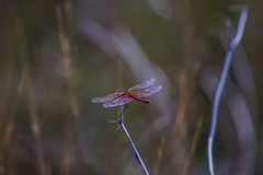 GIO_4236 (gio.cam) Tags: libellula rosso bokeh stelo butterfly ali riflesso insetto ngc