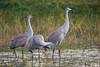Sandhill Cranes (stephaniepluscht) Tags: alabama 2017 sandhill sand hill crane cranes pond