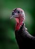 'Emily' (Jonathan Casey) Tags: turkey norfolk bronze suffolk tuddenham farm longwood nikon d810 400mm f28 vr