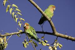 Peach-faced Lovebirds (Sean Stubben) Tags: colorful birds nature wildlife photography parakeet lovebird nonnative