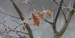 Autumn leaves celebrating winter (joeke pieters) Tags: 1370449 panasonicdmcfz150 blad bladeren eik leaf leaves oak vorst rijp hoarfrost frosty mist winter december