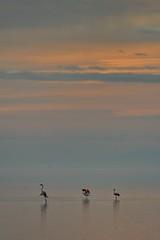 "l'univers ""Delta"" (manel pons) Tags: manelpons deltadelebre santcarlesdelarapita badiaelsalfacs flamencs flamencos flamingos"