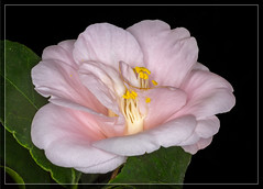 Pink Camellia (tresed47) Tags: 2017 201711nov 20171130longwoodflowers camellia canon7d chestercounty content fall flowers folder longwoodgardens macro november pennsylvania peterscamera petersphotos places ringflash season takenby technical us