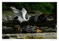 Aigrette garzette | Little Egret (BerColly) Tags: france auvergne puydedome allier riviere river oisau bird aigrettegarzette littleegret vol flight bercolly google flickr