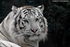 Bengal White tiger - Zoo Amneville (Mandenno photography) Tags: dierenpark dierentuin dieren animal animals bigcat big cat white tiger tijger tigers tijgers whitetiger france frankrijk amneville zooamneville