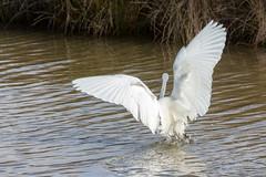 Aigrette garzette (CCphoto12) Tags: aigrettegarzette bassindarcachon leteich oiseau