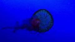 Jellyfish (Restless Eye) Tags: jellyfish colors changing ripleysaquarium gatlinburg tennessee