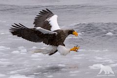 Steller Sea Eagle (fascinationwildlife) Tags: animal bird raptor vogel birding wild wildlife winter ice cold north northern hokkaido japan stellers steller sea eagle adler seeadler riesenseeadler inflight nature na asia raubvogel