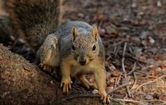 Squirrel, Morton Arboretum. 410 (EOS) (Mega-Magpie) Tags: canon eos 60d nature wildlife outdoors cute tree squirrel the morton arboretum lisle dupage il illinois usa america