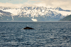Humpback (CMy23) Tags: alaska humpback whale kenai fjords national park