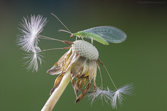 Lacewing (S W Mahy) Tags: lacewing fly insect dandelion garden guernsey macro channelislands