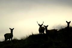 Red deer in the dunes (Jaedde & Sis) Tags: blåvand krondyr reddeer deer dunes silhouette perpetualwinner sweep friendlychallenges challengeyouwinner