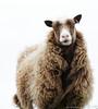 Shetland sheep (Kees Waterlander) Tags: verenigdkoninkrijk mainlandshetland shetland greatbritain grootbrittannië uk westerskeld scotland unitedkingdom gb