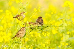 House sparrows at Baltasound (Unst, Shetland) (Renate van den Boom) Tags: 11november 2017 europa grootbrittannië huismus jaar maand renatevandenboom shetland unst vogels