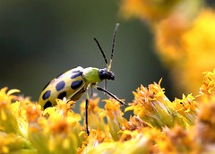 Walk in the park (mpalmer934) Tags: beetle bug goldenrod field walking strolling green spots bokeh weeds