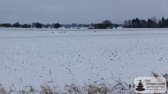 Reh-Rudel auf den Feldern
