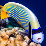 Emperor Angelfish, Western form - Pomacanthus imperator thumbnail