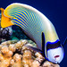 Emperor Angelfish, Western form - Pomacanthus imperator